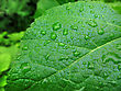 Close Up Of Big Green Leaf With Water Drops stock photo