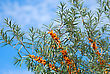 Close Up Of The Branch Of Sea-buckthorn With Berries.