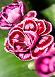 Close-up Of Carnation Or Pink In The Flowerbed stock photo