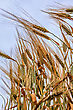 Close-up Ears Of Wheat Against The Sky stock photo