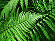 Close Up Of Fresh Green Fern Leafs Background stock photo