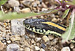 Close Up Garter Snake On Road In Canada stock photo