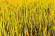 Close Up Green Leaf Of Paddy Rice In Filed Of Thailand