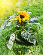 Sunlight Close Up Image Of A Beautiful Sunflower In The Sunshine. stock photography