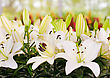 Close-up Of Lily Flowers From Keukenhof Park. Beautiful Flowers stock photography