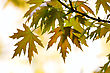 Botanical Close-up Maple Leaves Season Background stock photography