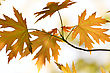 Close-up Maple Leaves Season Background stock photo