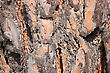 Close-up Of A Spruce Bark stock photography