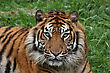 close up of a sumatran tiger stock photo