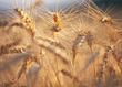 Close Up Of Barley Grain Stalks stock photography