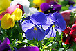 Close Up Of Beautiful Violet Flowers stock photography