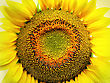 Close-up Of Big Yellow Sunflower stock image