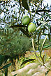Close-up Of Branches With Olive Fruit stock photo