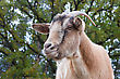 Close Up Of A Curious Billy Goat stock image