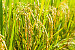 Close Up Paddy Rice In Filed Of Thailand