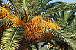 Close Up Of Palm Tree With Seeds stock image