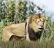 Close Up Picture Of A Male Lion In The Grass stock photo