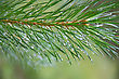Close Up Of Pine Tree Branch Spruce Dew stock image