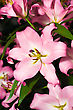 Close-up Of Pink Lily From Keukenhof Park. Beautiful Flowers stock photography