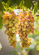 Close-up Of Two Bunches Of Grapes On The Vine With Green Leaves On A Sunny Day stock photo