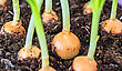 Close-up View Of Young Onion Seedlings stock image