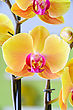Close-up Of A Yellow Orchid With Pink Spots stock image