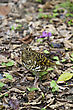 Small Close View Of White's Scaly Thrush In Wilderness,Zoothera Dauma stock photo