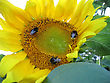 Closeup Of Big Yellow Sunflower With Bees stock image