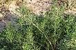 Closeup Detail Of The Foliage Of The Sagebrush , Or Artemisia Tridentata, A Shrub Found In Arid Regions stock photo