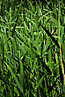 Closeup Of Green Fresh High Grass Lit By Sun At Sunny Summer Morning stock photography