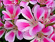 Closeup Of Blossom Godetia Flowers Background stock photography