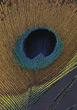 Closeup Of Peacock Feather stock photo