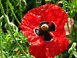 Closeup Of Red Poppy Flower stock image