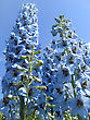 Floral Closeup Picture Of Beautiful Delphinium Flowers stock photo