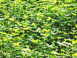 Clover Background At Sun Light. Green Clover Leaves. St. Patrick's Day stock photography