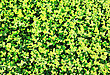 Clover Background At Sun Light. Green Clover Leaves. St. Patrick's Day stock image