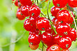 Cluster Of A Red Currant On A Branch stock photo