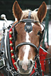 Clydesdale stock photo