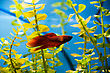 Cockerel Fish In Blue Water stock photography