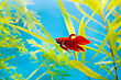 Cockerel Fish In Blue Water stock image