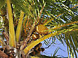 Coconut Tree With Golden Nuts,Close Up stock photography
