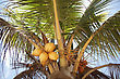 Coconuts Growing On A Palm Tree In Belize stock image