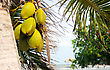 Coconuts Hanging From A Palm Tree By The Sea stock photo