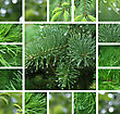 Collage Of Green Coniferous Tree With Rain Droplets stock image