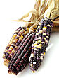 Colorful Dry Corn Cobs