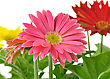 Colorful Gerbera Daisy Flowers , Close Up Shot stock image