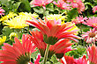 Flowers Colorful Gerbera Daisy Flowers , Close Up stock photo
