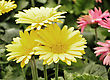 Flowers Colorful Gerbera Daisy Flowers In The Garden stock photography