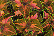Colorful Leaves Of Coleus (Solemnostemon) For Background stock image