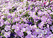 Colorful Petunias Close-up Shot , For Background stock image